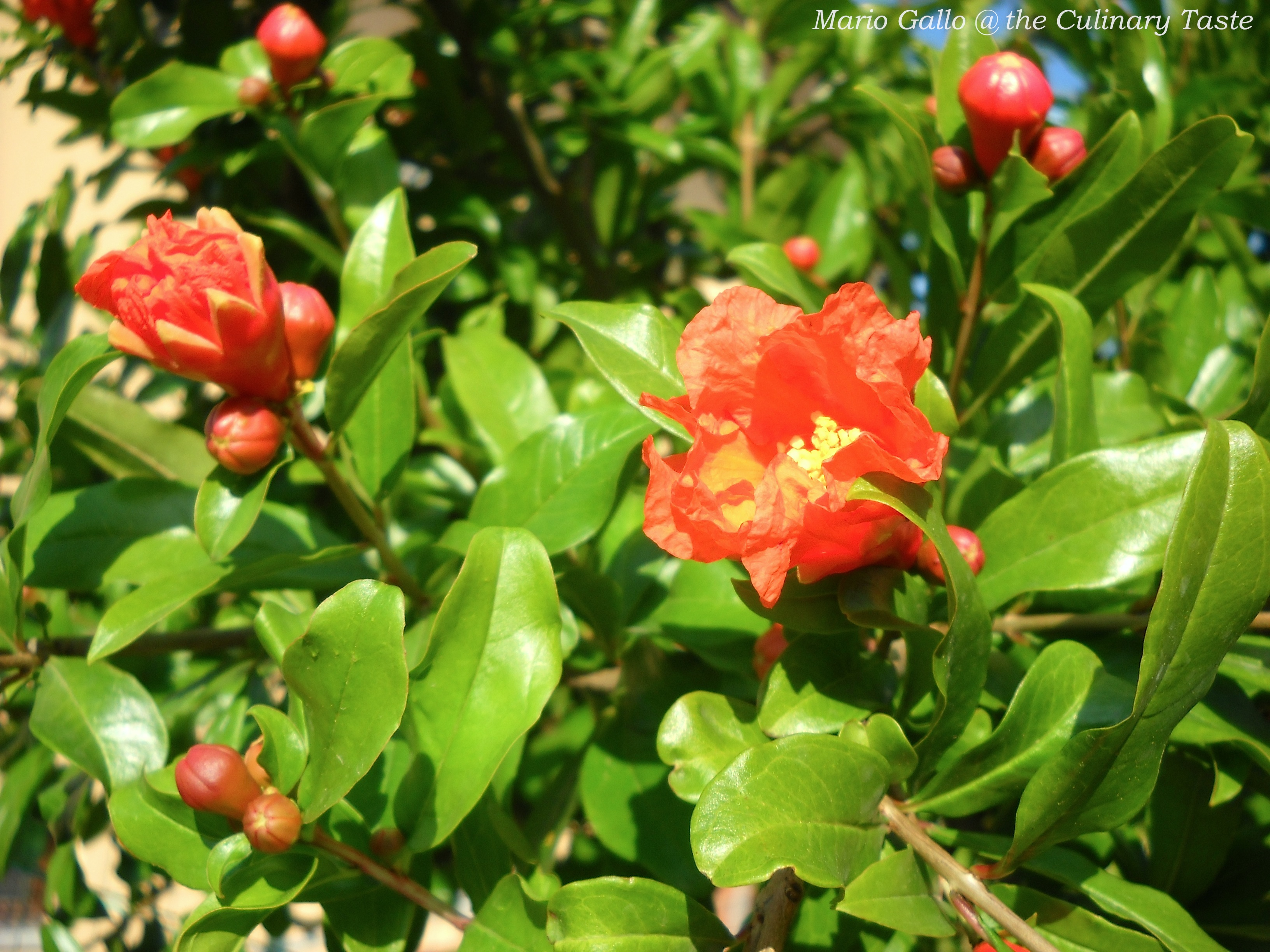 The Green Pomegranate Tree With Beautiful Vermillion Flowers The